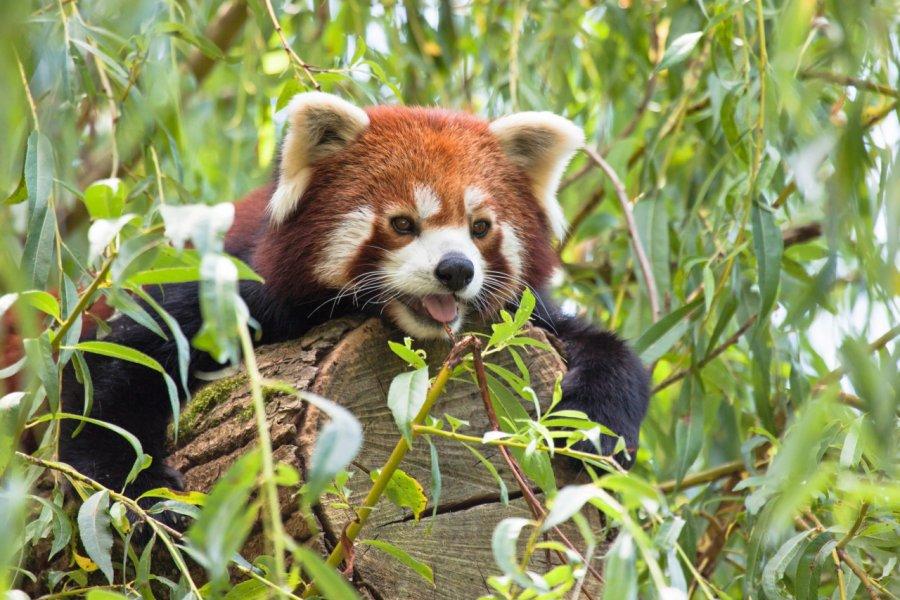 Panda roux au parc zoologique de Thoiry. (© JMP de Nieuwburgh - stock.adobe.com))
