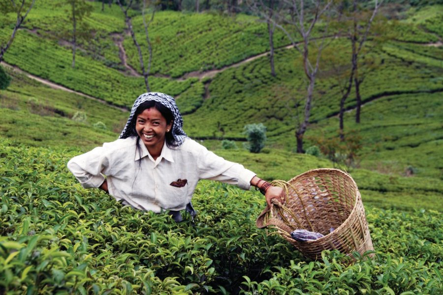 Plantation de thé à Darjeeling. (© Nicolas HONOREZ))