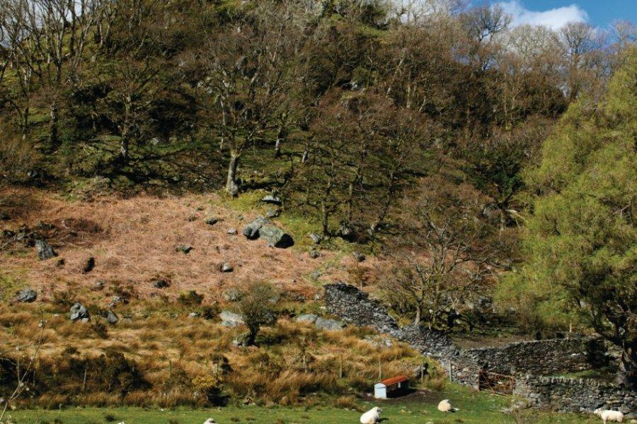 Moutons gallois au pied du Dolwyddelan Castle (© lvenks - iStockphoto.com))