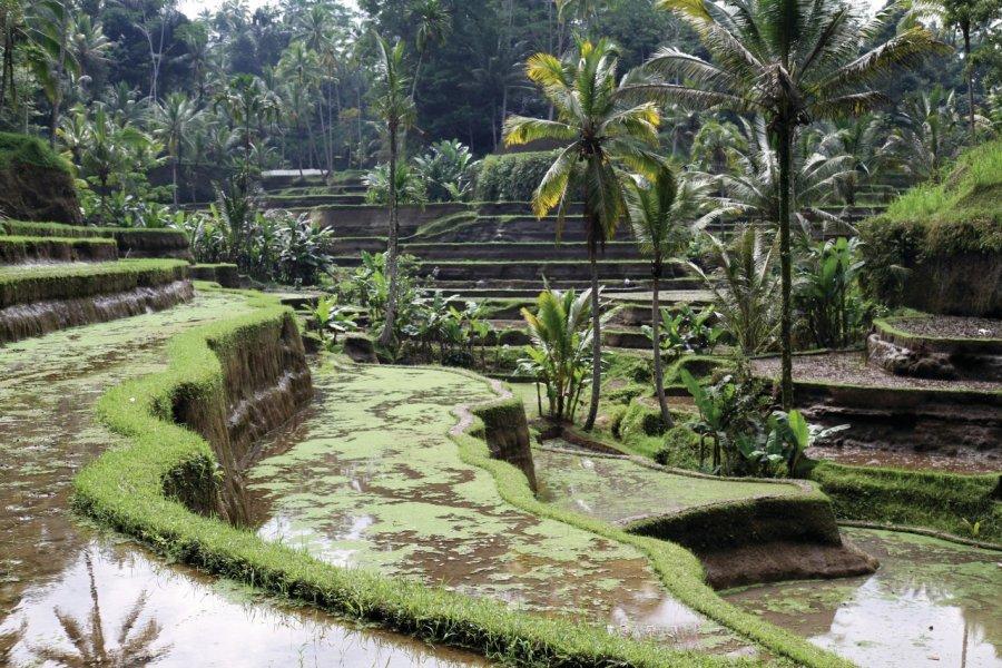 Rizières de Tegallalang, parmi les plus belles de Bali. (© Stéphan SZEREMETA))
