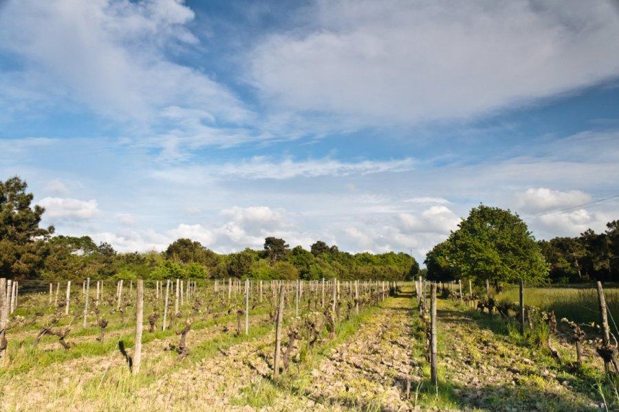 Vignoble près de Saint-Pierre-d'Oléron. (© Philippe GRAILLE - Fotolia))