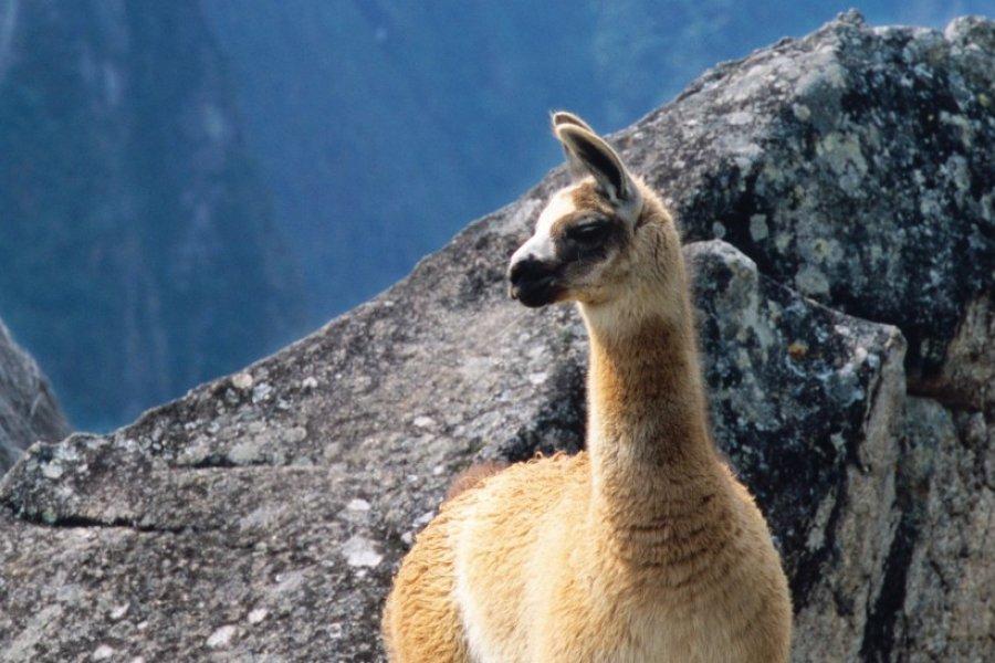 Ne vous fiez jamais à l'allure paisible d'un lama! (© Author's Image))