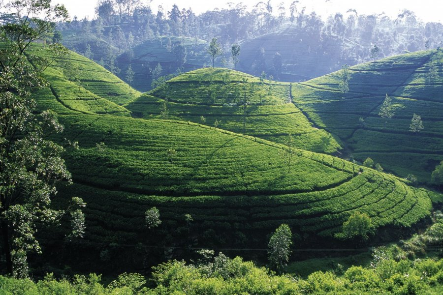 Plantation de thé (© Eric Martin - Iconotec))