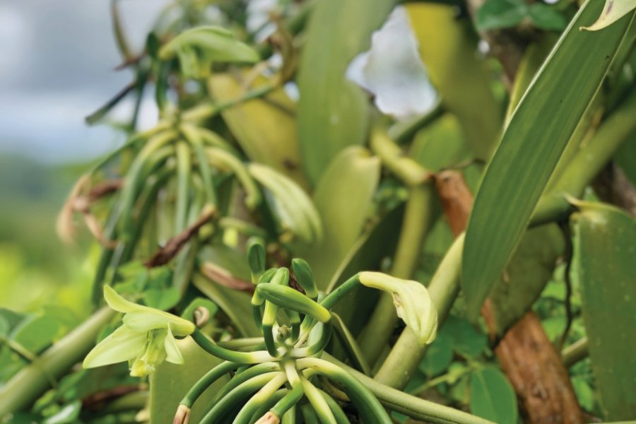 Culture de la vanille en Martinique (© drezen isabelle))