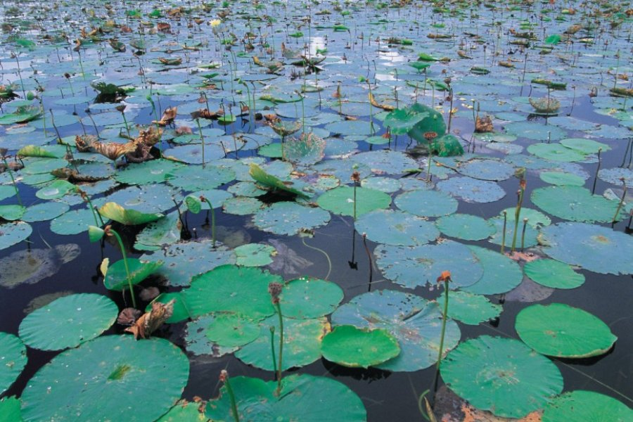Nénuphars du lac Okeechobee. (© Tom Pepeira- Iconotec))