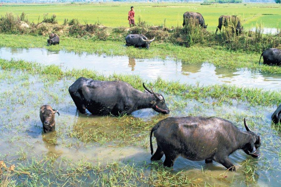 Buffles du delta de l'Irrawaddy. (© Alamer - Iconotec))