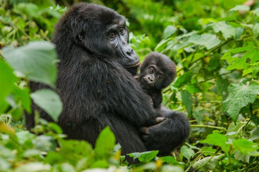 Forêt impénétrable de Bwindi. (© GUDKOV ANDREY - Shutterstock.com))