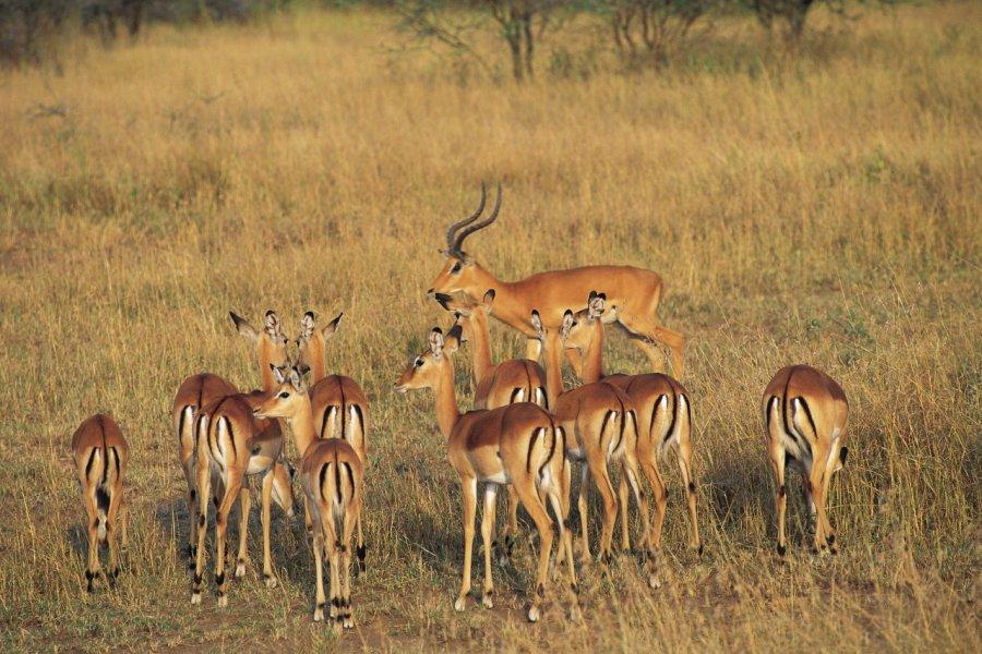 Impalas dans le parc National du Serengeti (© Tom Pepeira - Iconotec))
