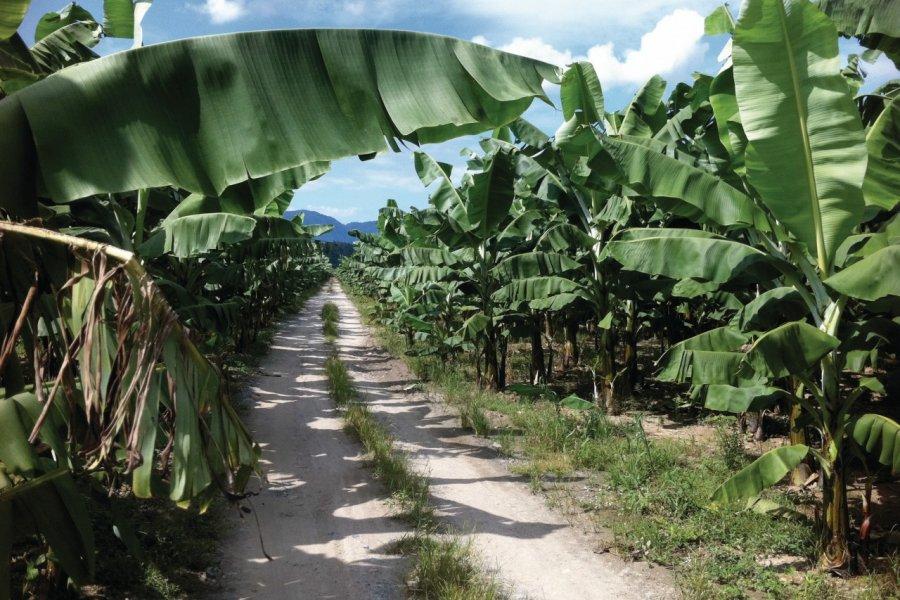 Plantation de banane près de Quirigua. (© Abdesslam Benzitouni))