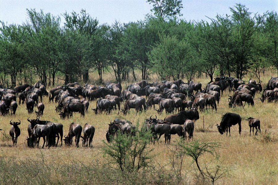 parc national du Serengeti, troupeau de gnous sauvages (© Tom Pepeira - Iconotec))