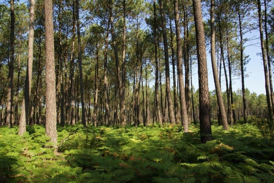 La forêt des Landes (© JEAN-MICHEL POUGET - FOTOLIA))