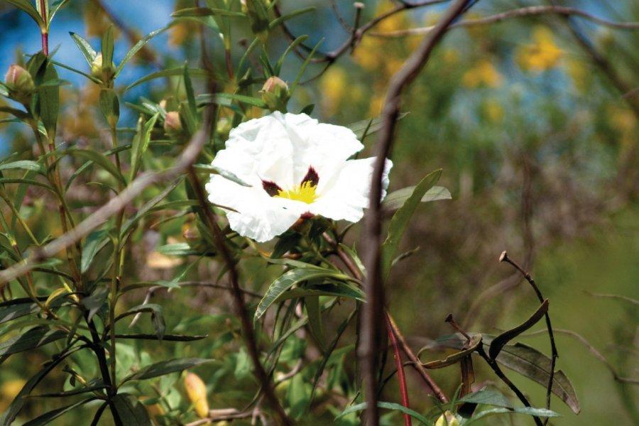 Fleur sauvage dans les environs de Tavira. (© Maxence Gorréguès))