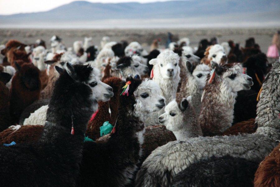 Alpagas à Sajama. (© Arnaud BONNEFOY))