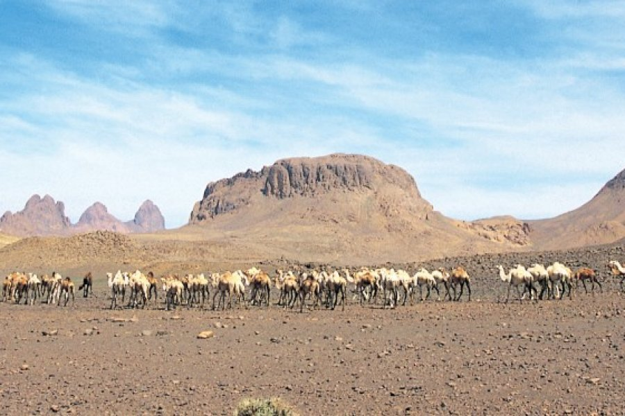 Troupeau de chameaux des Touraregs dans les hauts plateaux de l'Atakor. (© Sébastien CAILLEUX))