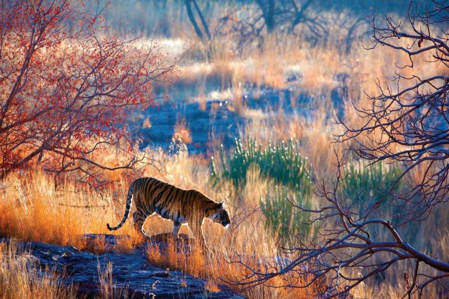 Tigre dans le parc national de Ranthambore. (© eROMAZe - iStockphoto))