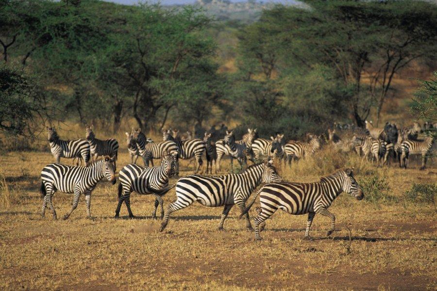 Zèbres dans le parc national du Serengeti (© Tom Pepeira - Iconotec))