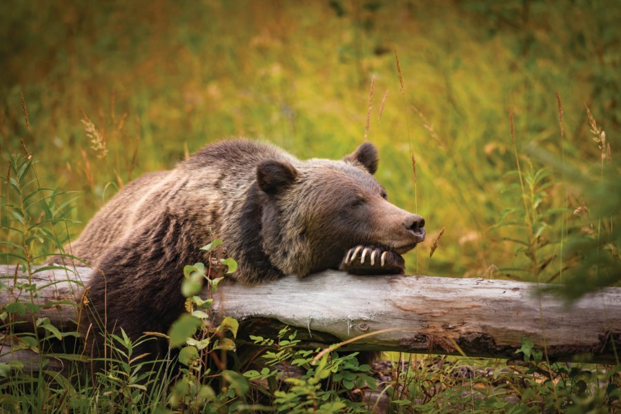 Grizzli dans le Banff National Park. (© bgsmith - iStockphoto.com))