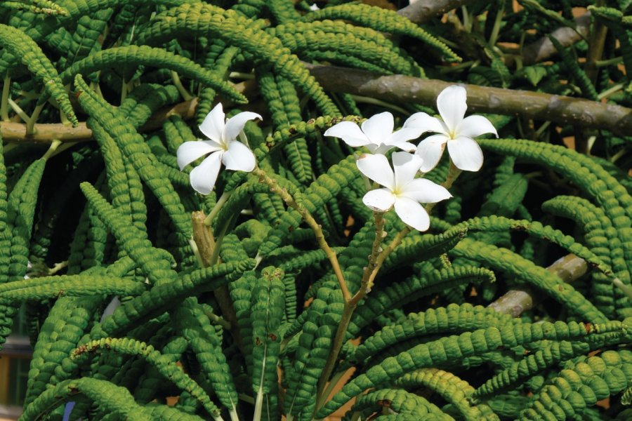 Fleurs des Grenadines. (© Jean Charles Dusanter))