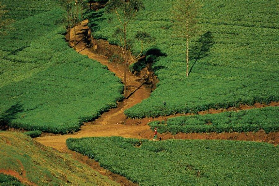 Plantations de thé (© Cali - Iconotec))
