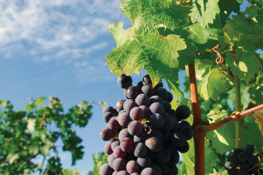 Grappe de raisin (© Richard Villalon - Fotolia))