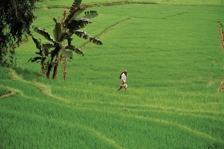 Rizière, Kandy (© Author's Image))