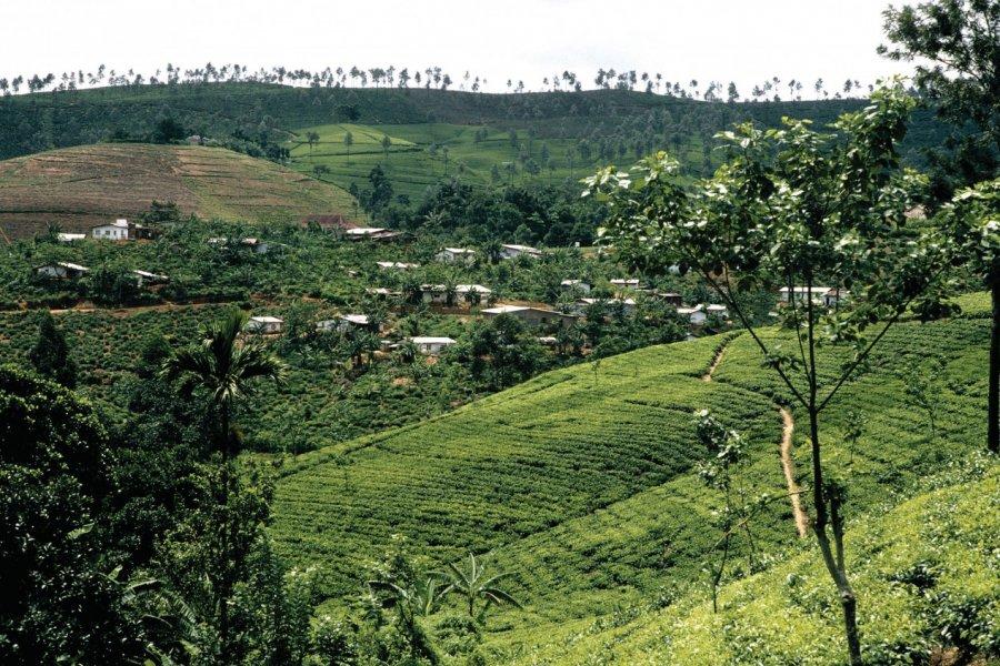 Plantation de thé (© Alamer - Iconotec))
