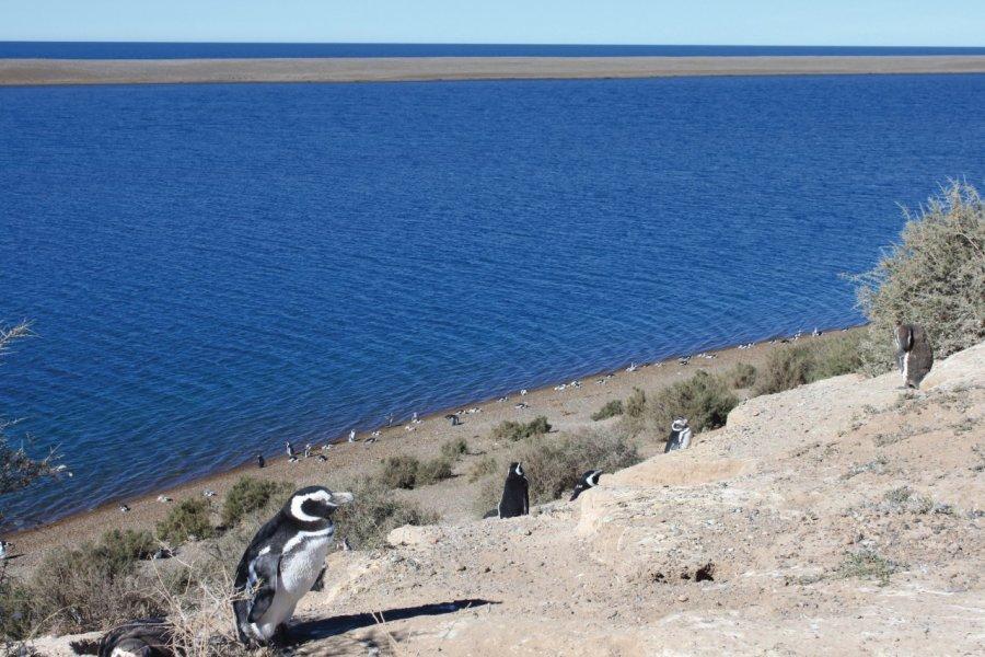 Pingouins de Magellan à Caleta Valdés. (© Pierre-Yves SOUCHET))