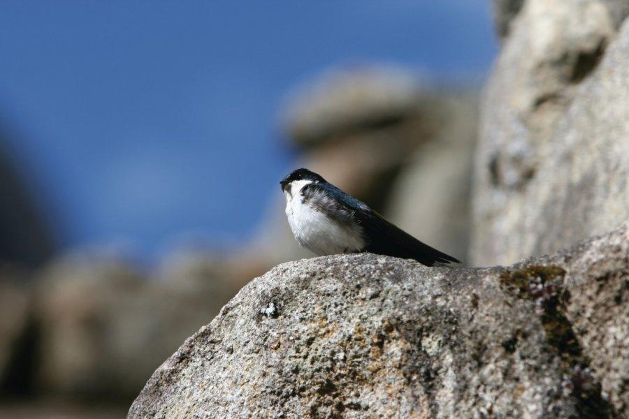 Cité de Machu Picchu paradis des oiseaux. (© Stéphan SZEREMETA))