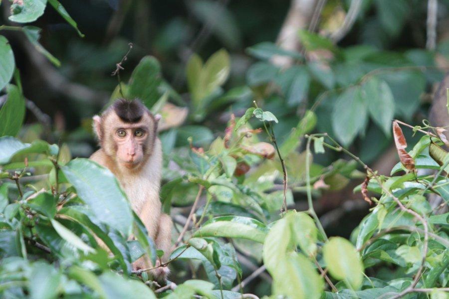 Macaques dans la forêt le long de la rivière Kinabatangan (© Stéphan SZEREMETA))