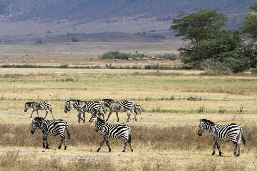 Troupeau de zèbres dans l'aire de conservation du Ngorongoro (© Stephan SZEREMETA))