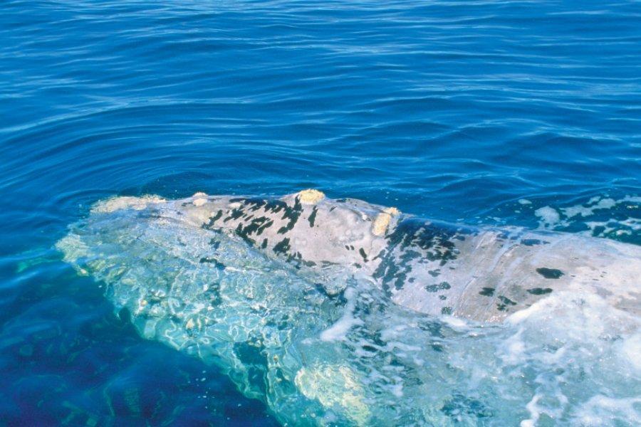 Baleine franche. (© H.Fougère - Iconotec))
