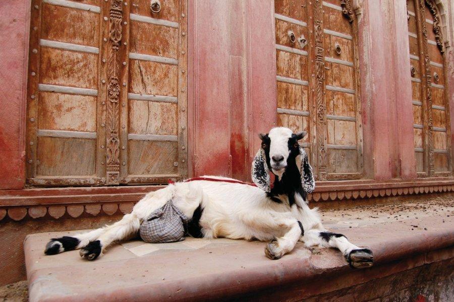 Chèvre dans la vieille ville de Bikaner. (© Maxime DRAY))