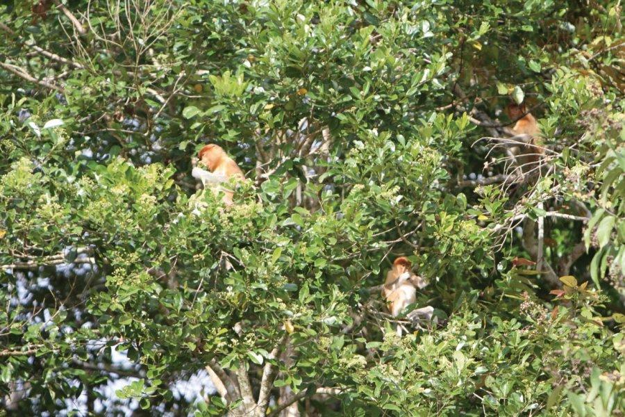 Singes nasiques dans la forêt le long de la rivière Kinabatangan (© Stéphan SZEREMETA))