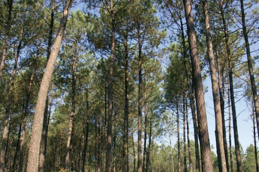 Forêt landaise (© JEAN-MICHEL POUGET - FOTOLIA))