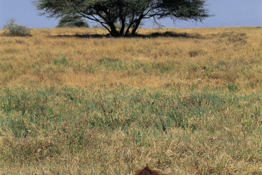 Couple de lions dans le parc national du Serengeti (© Tom Pepeira - Iconotec))