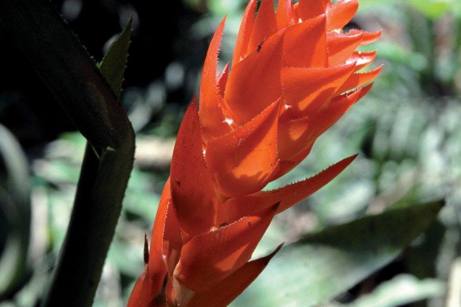 Fleur tropicale de la réserve de Rio Napo, environs de Coca. (© Author's Image))