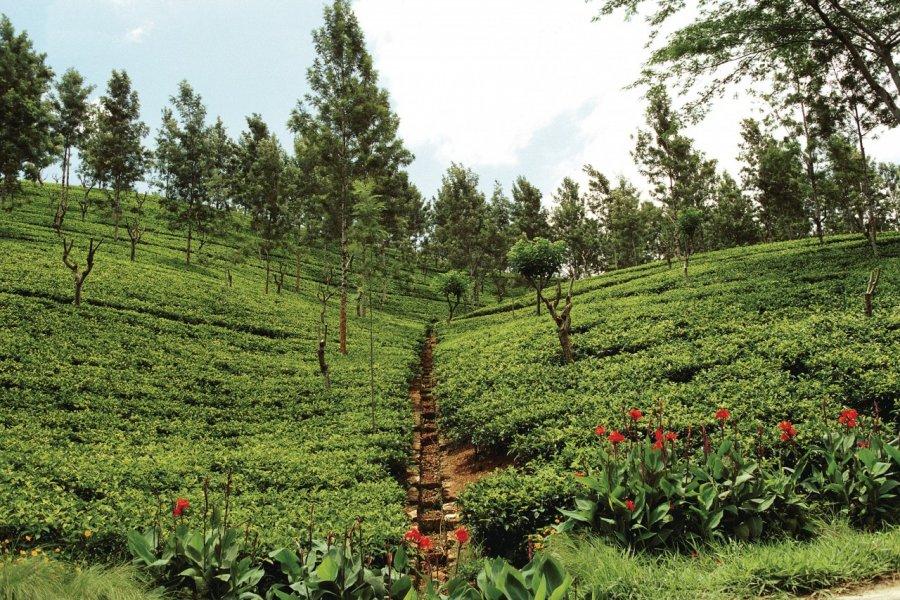 Plantation de thé (© Author's Image))