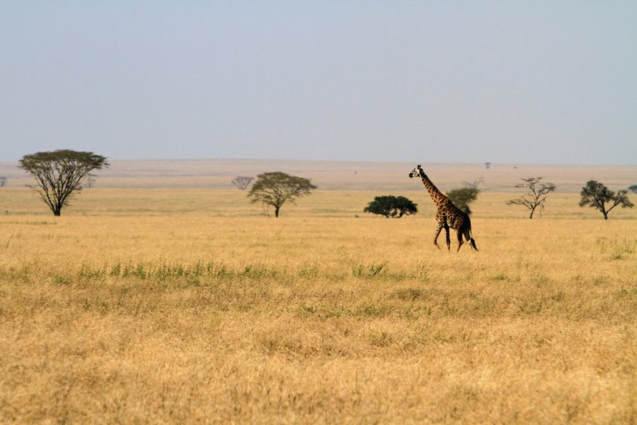 Girafe dans le Parc National du Serengeti (© Stephan SZEREMETA))