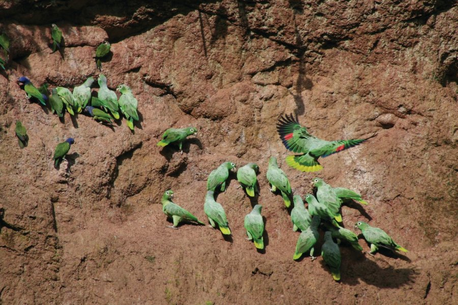 Rassemblement de perruches au Napo Wildlife Center. (© Stéphan SZEREMETA))