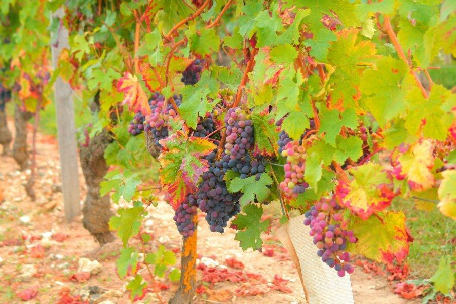 Vignes de Chinon. (© Aurore Poveda - Azay Chinon Val de Loire Tourisme))