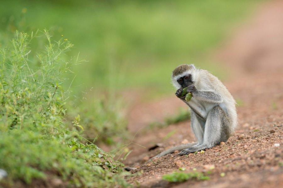 Singe vervet, Lake Mburo National Park. (© Robert Haasmann - Shutterstock.com))