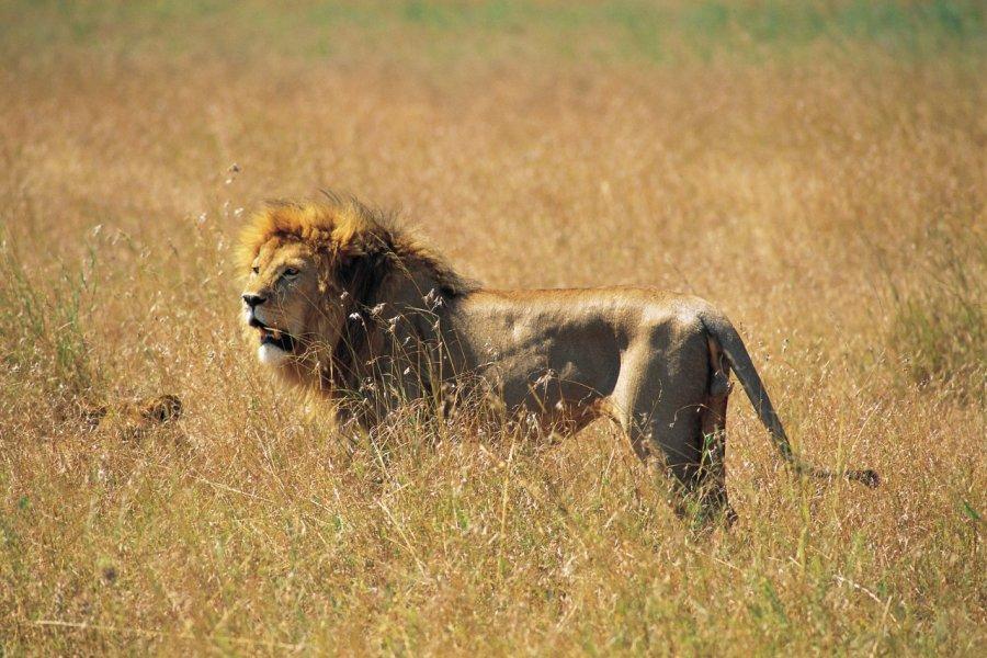 Lion dans le parc national du Serengeti (© Tom Pepeira - Iconotec))