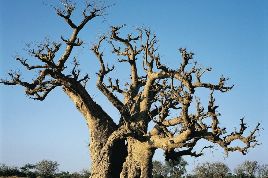 Baobab tricentenaire, presqu'île du Cap vert. (© Tom Pepeira - Iconotec))