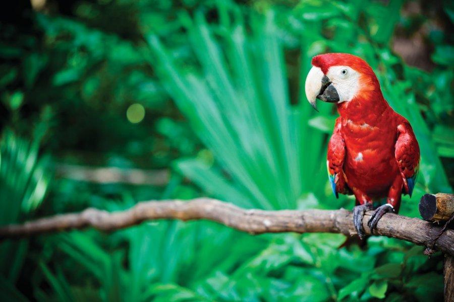 Ara rouge. (© Aguru - iStockphoto))