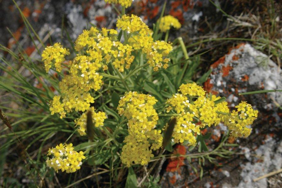 Fleurs du Baïkal (© Stéphan SZEREMETA))