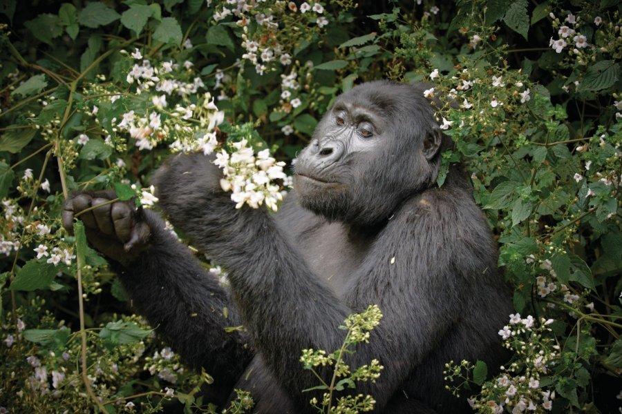 Gorille de la forêt impénétrable de Bwindi. (© Jürgen Ritterbach))