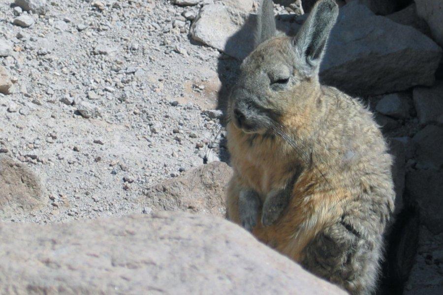 Viscaches, mi-écureuil mi-lapin (© Arnaud BONNEFOY))