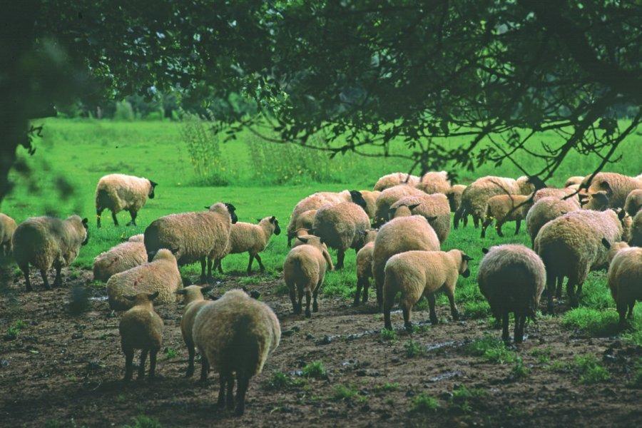 Troupeau de moutons (© VALÉRY D'AMBOISE))