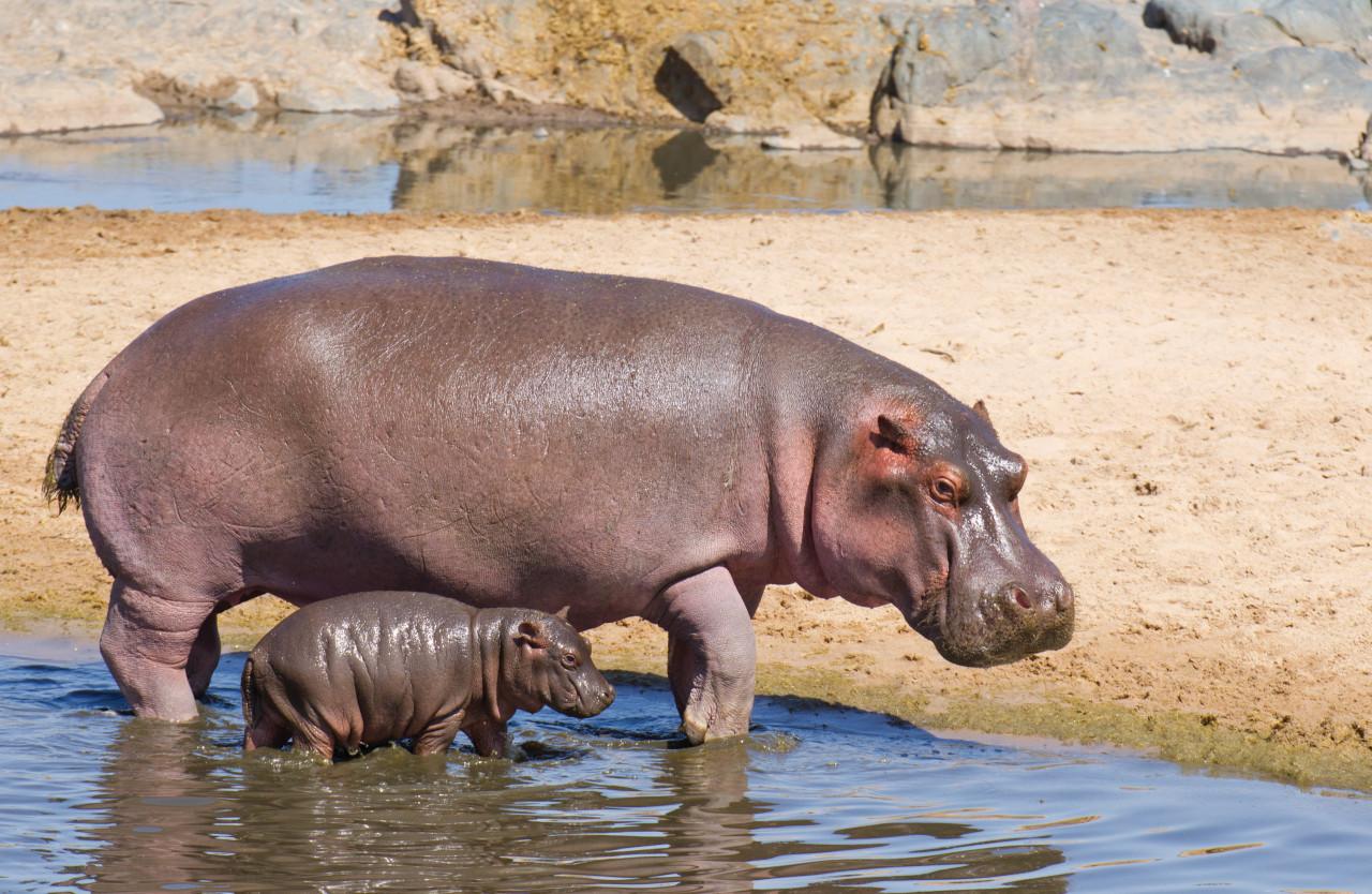 Famille d'hippopotames. (© StuPorts - iStockphoto))
