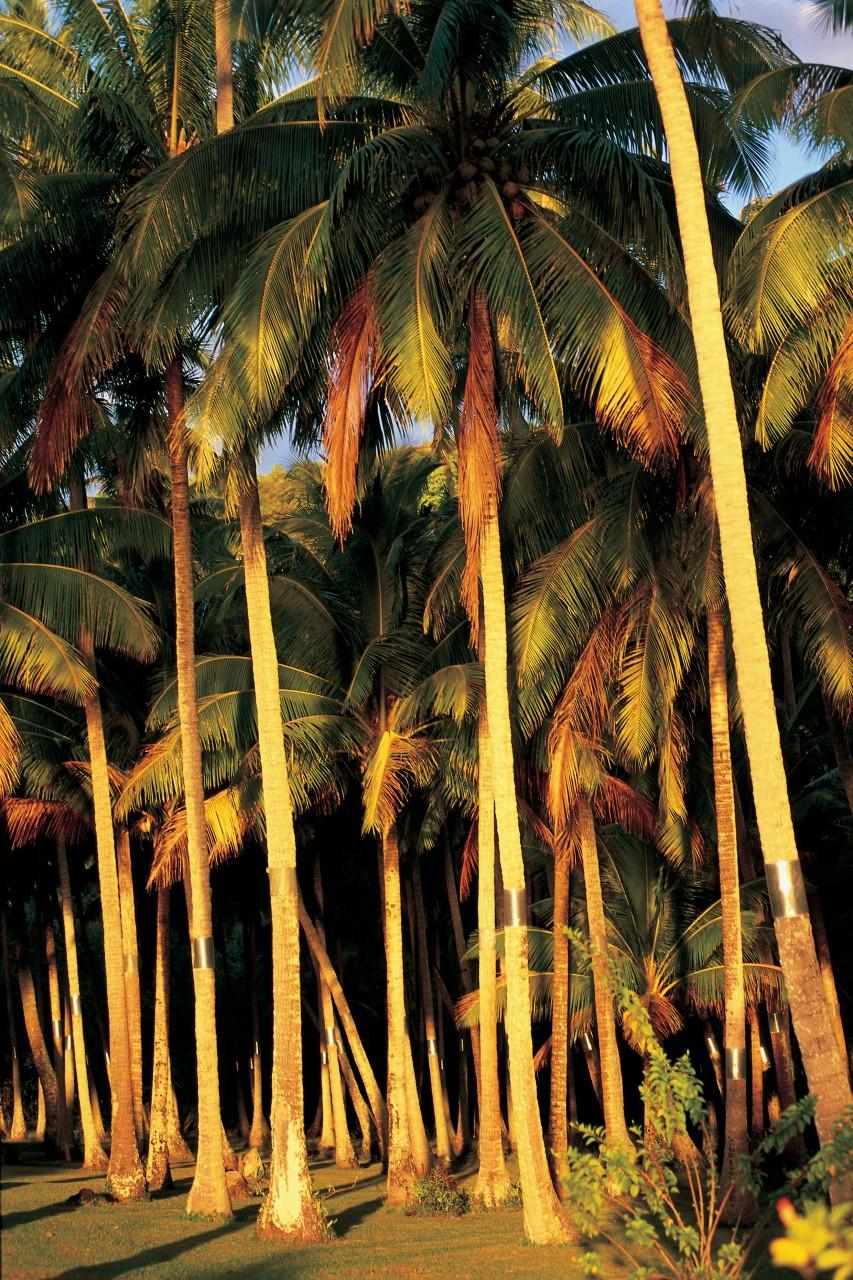 Palmiers dans le soleil couchant (© Itzak Newmann - Iconotec))